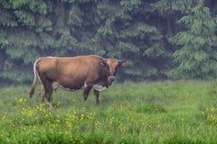 Kuh lässt morgens auf der Dorfweide weiden Stockfoto