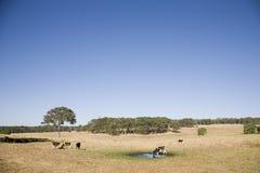 Kuh-Landschaft in Australien Stockbilder