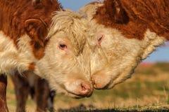 Kuh-Liebe Stockbilder