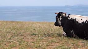 Kuh liegt auf dem Ufer und dem Betrachten des Meeres stock footage