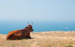 Kuh liegt auf einer Küste Stockfotografie
