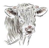 Kuh lokalisiert auf einem weißen Hintergrund Stockfotografie