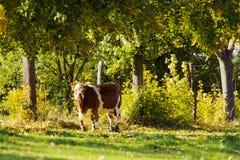 Kuh mit Bäumen Stockfotos