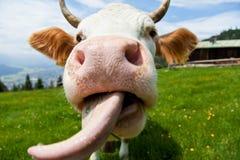 Kuh mit der Zunge Stockfoto