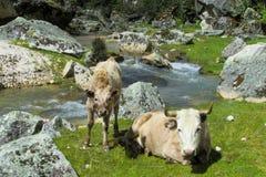 Kuh mit einem Baby nahe dem Fluss Lizenzfreie Stockbilder
