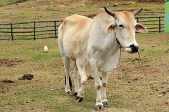 Kuh mit fünf mit Beinen versehene Fahrwerkbeinen stockbilder