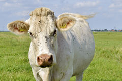 Kuh mit Fliege auf seinem Kopf Stockfotografie