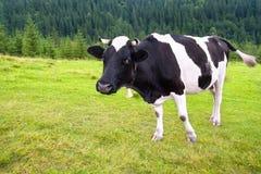Kuh mit Glocke auf Wiese in den Bergen Stockfotos
