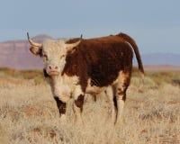 Kuh mit Hupen auf geöffneter Reichweite Lizenzfreie Stockfotografie