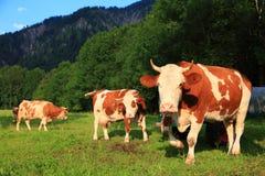 Kuh mit Hupen auf Wiese Stockfoto