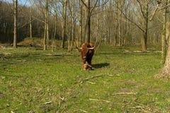 Kuh mit Kalb Lizenzfreie Stockfotografie