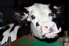 Kuh mit kleinen Hörnern Stockfoto