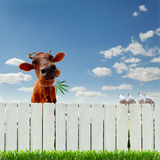 Kuh mit Marihuana über dem Zaun Stockfoto