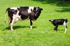 Kuh mit neugeborenem Kalb Lizenzfreie Stockfotografie