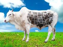 Kuh mit USA-Karte auf dem Gebiet Stockbilder