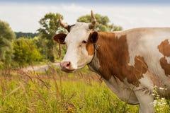 Kuh mit weißen Stellen auf Weide im villag Lizenzfreies Stockbild