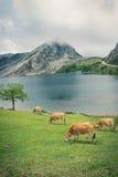 Kuh nahe dem Gebirgssee Stockbild