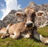 Kuh nahe Monte Pelmo, Dolomit, Italien Stockfoto