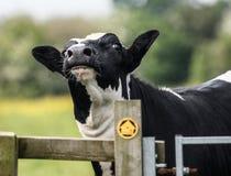 Kuh, nahes hohes des Gesichtes Lizenzfreie Stockfotos