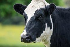 Kuh, nahes hohes des Gesichtes Stockfotos