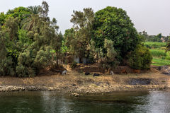 Kuh Nil Stockfotos