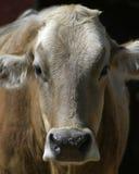Kuh-Portrait lizenzfreie stockbilder
