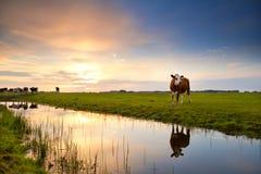 Kuh reflektiert im Fluss bei Sonnenaufgang stockbild