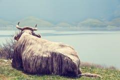 Kuh in See Stockfotografie