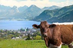 Kuh steht vor dem schönen wolfgangsee, Österreich Lizenzfreie Stockbilder