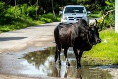 Kuh in Thailand Stockbild