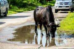 Kuh in Thailand Stockfotografie