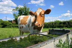 Kuh an trinkender Abflussrinne Stockfoto