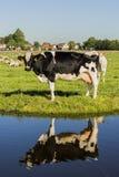 Kuh-und Abzugsgraben-Reflexion Lizenzfreies Stockfoto