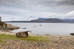 Kuh und Cuillin auf Ufer von Loch Eishort auf der Insel von Skye in Schottland lizenzfreie stockfotos