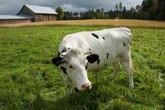 Kuh und ein Stall in der finnischen Landschaft Stockfoto