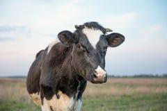 Kuh und Feld des Grases Stockbild