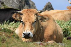 Kuh und Fliege Stockbild
