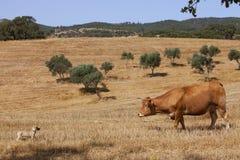 Kuh und Hund Stockfoto