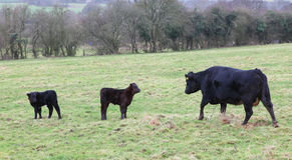 Kuh und Kälber Stockbild