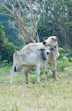 Kuh und Kalb Stockfotografie