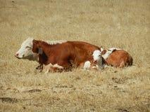 Kuh und Kalb Lizenzfreie Stockfotografie