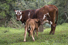 Kuh und Kalb Lizenzfreies Stockfoto