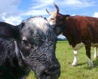 Kuh und Kalb Stockbild