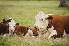 Kuh und Kalb auf einem Gebiet Lizenzfreies Stockbild