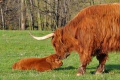 Kuh und Kalb des Hochlandviehs Lizenzfreie Stockfotos