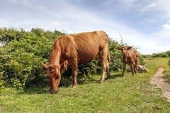 Kuh und Kalb, die - Tierfamilie weiden lassen Stockfotos