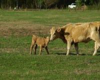 Kuh und Kalb in Weide 6 Lizenzfreie Stockfotos