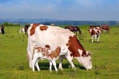 Kuh und kleines Kalb Stockfotografie