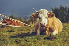 Kuh und Kuhdüngemittel Lizenzfreies Stockbild