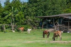 Kuh und Pferd, die Gras am Feld essen Lizenzfreies Stockbild